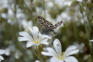 La Clau - Papillon