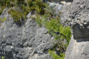 Roquesaltes - Crave à bec rouge