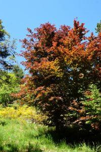 Arboretum de l'Hort de Dieu - Hêtre pourpre