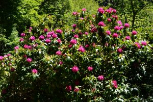Arboretum de l'Hort de Dieu - Rhodendron