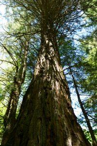 Arboretum de l'Hort de Dieu - Séquoia géant
