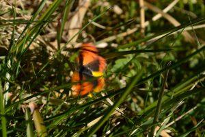 Massif de l'Aigoual - Papillon
