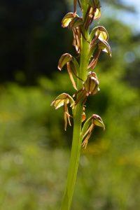 Massif de l'Aigoual, gorges du Trévezel - Orchis homme pendu