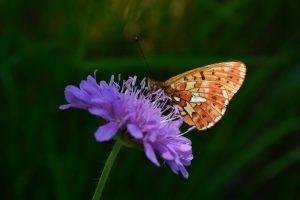 Lac du Laouzas - papillon