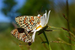 Lac du Laouzas - papillons