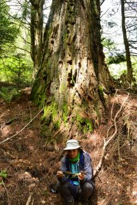 Massif de l'Aigoual, arboretum de l'Hort de Dieu - Séquoia