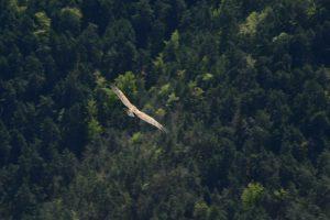 Gorges de la Jonte, vautour fauve