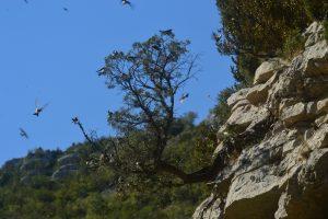 Cirque de Navacelles, la Vis - Hirondelles des rochers