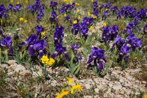 Causse du Larzac, roc du Mérigou, iris sauvages