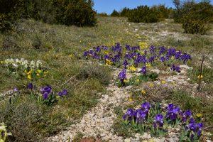 Causse du Larzac - Roc du Mérigou - Iris sauvages