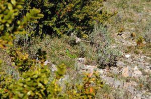 Causse du Larzac - Roc du Mérigou - Lézard vert