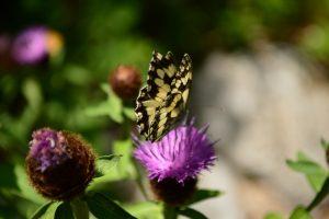 La Dourbie - Papillon