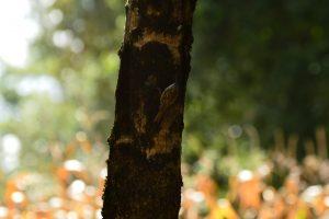 Caraman Lac de l'Orme Blanc - Grimpereau des jardin