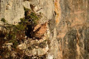 Causse du Larzac - Vautour fauve