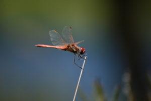 Lac de Vesoles - Sympetrum rouge sang