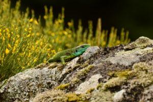 Rec del Bosc - Lézard vert