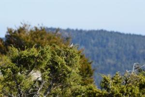 Massif de l'Aigoual - Traquet motteux