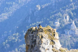 Roquesaltes - Grand corbeau