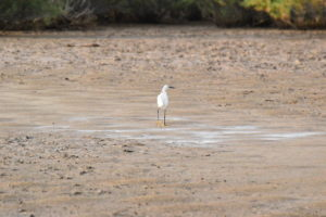 Vendres-plage - Aigrette