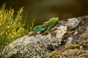 Rec del Bosc – Lézard vert