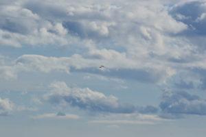 Causse du Larzac - Parade des grands corbeaux