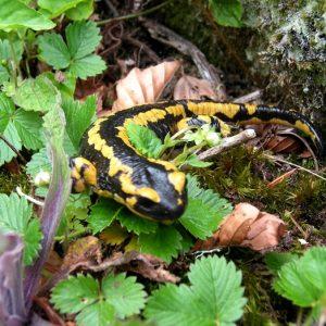 Salamandre, au bois de Salabe (Pyrénées du Comminges)