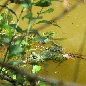 grenouille verte, étang de la forêt de Buzet (nord de Toulouse)