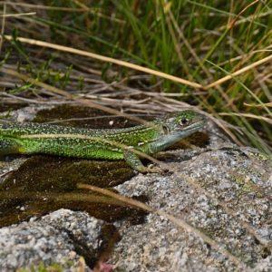 Lézard vert des souches - bord du Lac des Pises