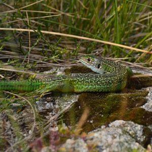 Lézard vert des souches - Mt Aigoual (lac des Pises)