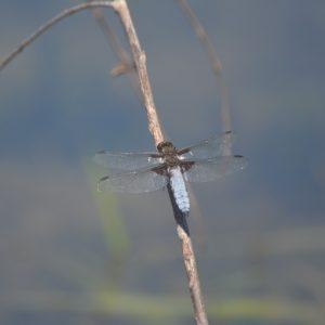 """libellule """"depressa"""" - Lac du Laouzas (Tarn)"""