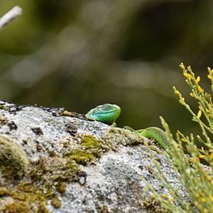 """lézard vert au """"Rec del Bosc"""" (Col de la Frajure - Tarn)"""