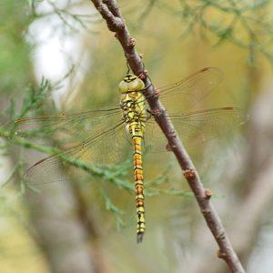 Sympetrum sanguineum (female)