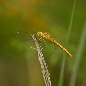 libellule Sympetrum sanguineum (female), Vendres-Plage (Hérault)