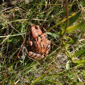 """""""grenouille rousse"""", vers l'étang de Barrandon (Mt Lozère)"""