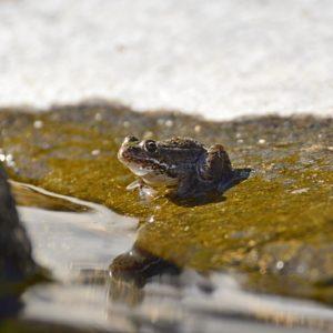 grenouille sur les berge du Lac-d'Issarlès (Ardèche)