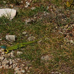 lézard-vert au printemps - Causse du Larzac