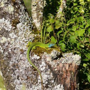 lézard vert, (Vabres-l'Abbaye, Aveyron)