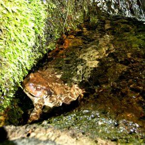 Crapaud commun - batracien de l'espèce bufo bufo, cascade de l'Hérault