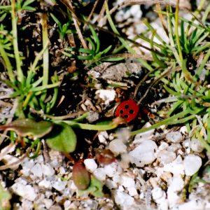 L'eresus mâle - Larzac nord, vers le roc du Mérigou