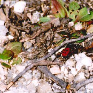 Eresus mâle - Causse du Larzac