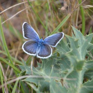 Argus bleu - Causse Noir (Aveyron)