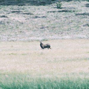 Daguet... (jeune cerf)... sur les berges de l'étang de Barrandon, mont Lozère