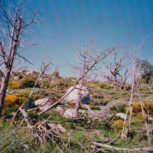 La Condamine - Les arbres morts au col de l'Homme Mort...