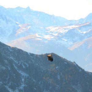 Crète de Calamagne - Crète (1 680 m) à l'ouest du mont Né, effleuré par un vautour, en arrière pics de Tramezaigues (2 572 m), d'Aret (2 939 m)