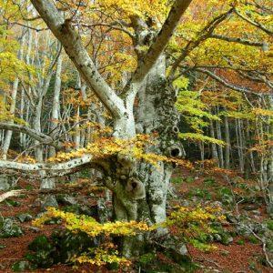 hêtraie, Bois des Devèzes - Aumessas, Mt Aigoual