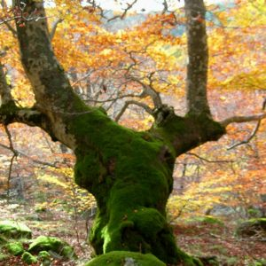 hêtre, Bois des Devèzes - Aumessas, Mt Aigoual
