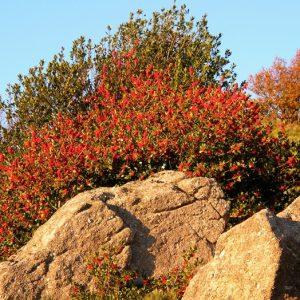 buisson de houx, Campatour, Massif de l'Aigoual