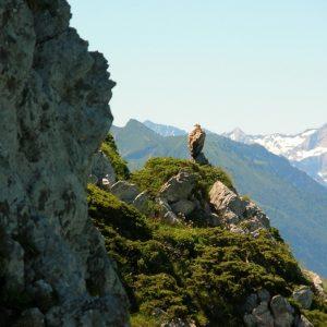 vautour fauve au Pic de l'Escalette - Luchonnais