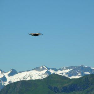 vautour fauve - vu du Pic de l'Escalette