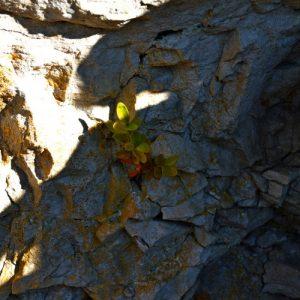Buis à petites feuilles - Roc du Mérigou (Larzac)